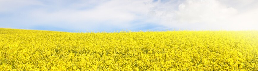 Blooming yellow rapeseed field. Clear blue sky with cirrus clouds. Cloudscape. Rural scene. Agriculture, biotechnology, fuel, food industry, alternative energy, environment, nature. Panoramic view