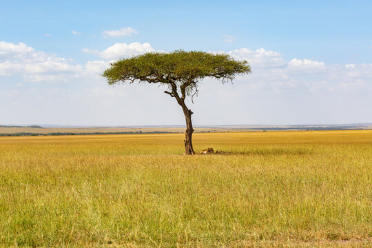 Single tree on the savanna with lions under it