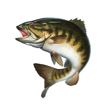 Smallmouth bass jumps out of water illustration isolate realistic.