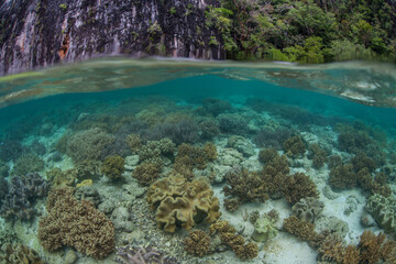 Wall Mural - An amazing coral reef grows in Raja Ampat, Indonesia. This remote, tropical region is known as the heart of the Coral Triangle due to its incredibly high marine biodiversity.