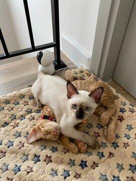Focus on a small thai kitten is overlie on a little yellow-orange cat