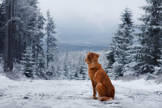 dog in a snowy forest. Pet in the winter in nature. Nova Scotia Duck Tolling Retriever outside