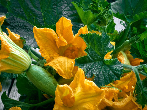 Zucchini flowers on a wooden background