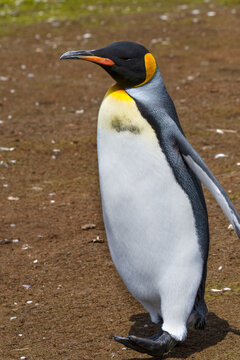 King Penguin Out for a Stroll at Volunteer Point, Falkland Islands