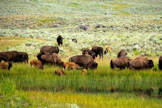 A herd of Buffalo at Lamar Valley, Yellowstone National Park