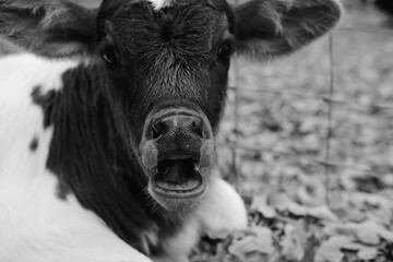 Wall Mural - Baby cow yawn close up shows sleepy calf in black and white, tired animal on farm.