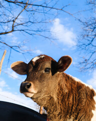 Wall Mural - Brown beef calf portrait close up with winter blue sky background.