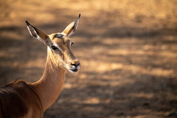 Close-up of female common impala staring right
