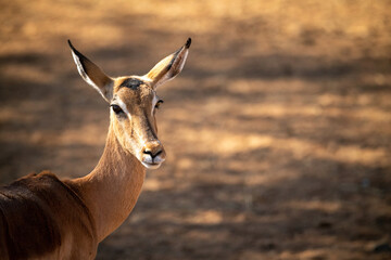 Close-up of female common impala turning head