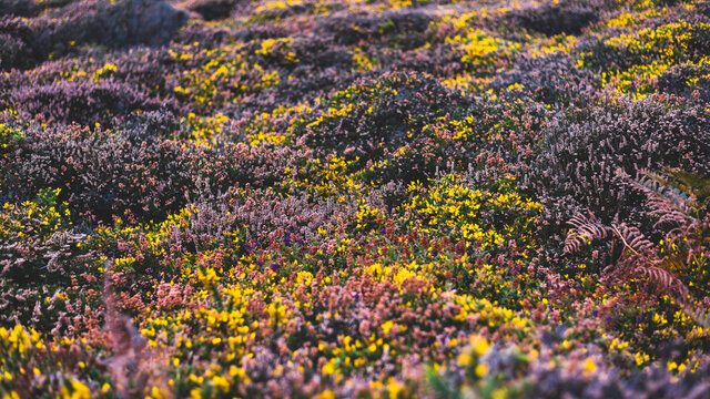Yellow gorse and heather moorland in autumn, close-up. Nature of Brittany, France. Abstract natural floral pattern, texture, background, wallpaper, panoramic image. Wildflowers, macro photography