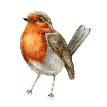 Robin bird watercolor illustration. Hand drawn close up small garden avian. Beautiful song bird single image. Tiny robin realistic illustration element on white background