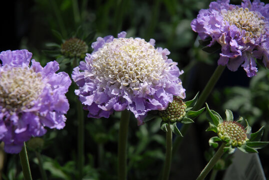 Beautiful white and purple flowers, Scabious Butterfly Blue