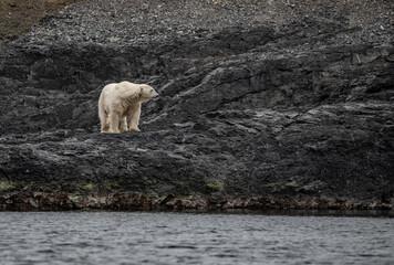 Self adhesive Wall Murals Polar bear Polar bear in high Arctic