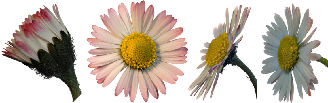 Gänseblümchen freigestellt, mehrere Ansichten mit transparenten Hintergrund