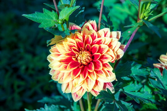 caballero dahlia flower ,, blooming in the greenhouse