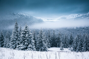 Wall Mural - Spectacular winter landscape with snowy spruces on a frosty day.
