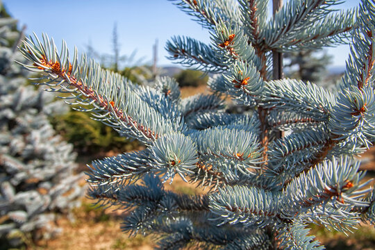 Nursery for pine trees - picea pungens, cedrus atlantica, abies concolor and other trees