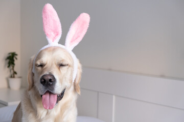 Fototapeta Happy Easter concept. A dog in a rabbit costume lies on a white background. Easter Golden Retriever. Preparation for the holiday. Spring postcard.
