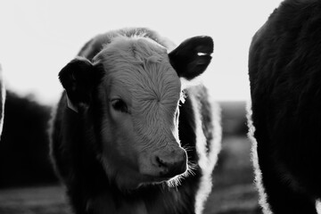 Wall Mural - Hereford calf portrait close up in black and white, beef cow farm concept.
