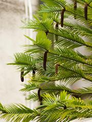 Fototapeta Wollemia nobilis, Pin de Wollemi ou arbre de Wollemi. Detail des feuilles à aiguilles larges, plates vert pâle à vert foncé en forme de plumes retombantes