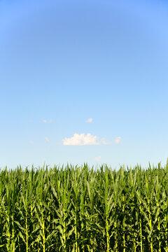 USA, Nebraska, Corn growing along Route 20