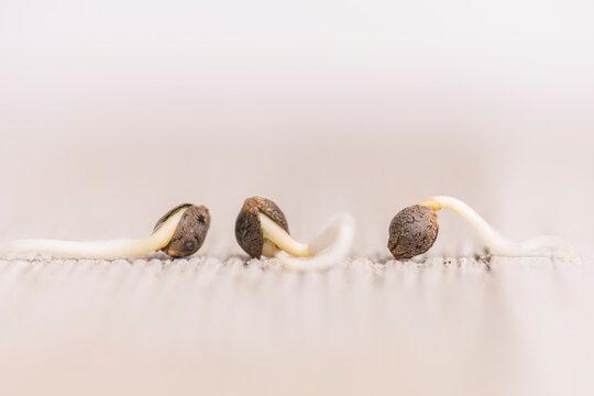 Cannabis hemp seeds ready for germination