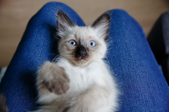 Cute kitten lies on knees and hums. A cozy cat loves its owner. Warm home minutes with your pet.