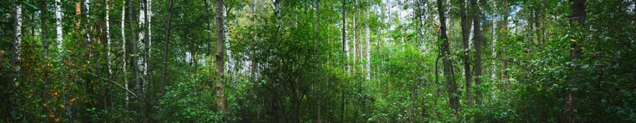 Picturesque panoramic scenery of the green swampy forest. Colorful birch and other deciduous trees close-up. Early autumn landscape. Fall season, nature, ecology, environmental conservation in Europe