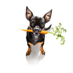 dog  with  healthy  vegan carrot in mouth