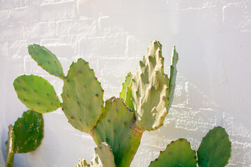 Green Paddle cactus against white washed brick wall. Bright and cheerful