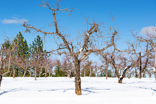 Winter landscape of a snow covered orchard