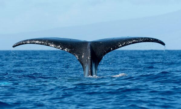 Humpback Whale Fluke, Maui, Hawaii, USA