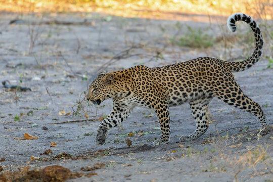 south african leopard walking on river bank, Chobe, Panthera pardus, Chobe National Park, Botswana, Africa wildlife
