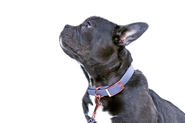 Side view of French Bulldog dog with long healthy nose wearing blue synthetic leather collar on white bacground