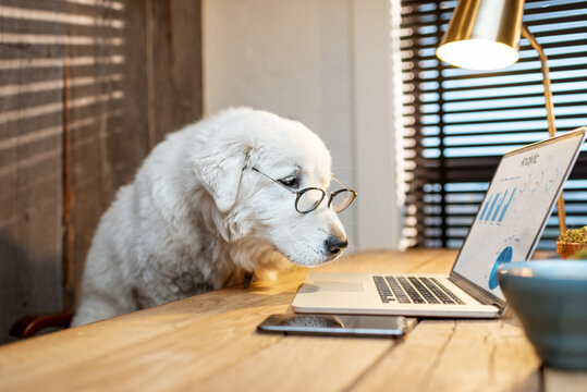 Portrait of a cute white dog in eyeglasses working on a laptop at the office