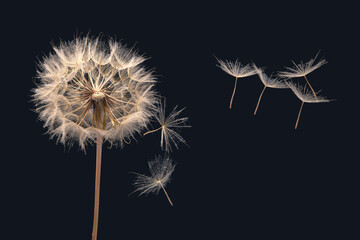 Fototapeta Dandelion seeds flying next to a flower on a dark background