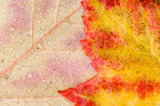 Closeup of a pair of Scarlet maple Acer rubrum leaves as they turn color in Autumn
