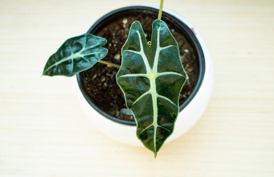 Beautiful houseplant called alocasia polly