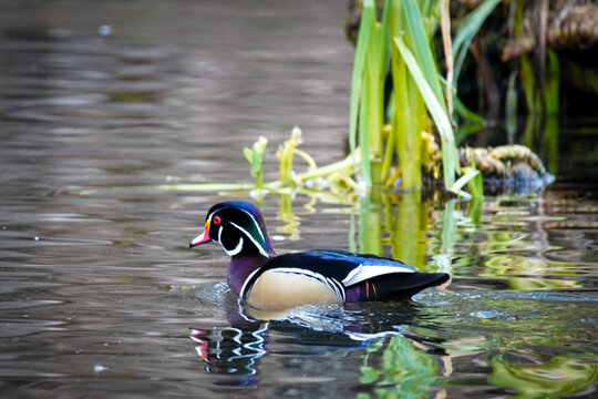 male wood duck on the water