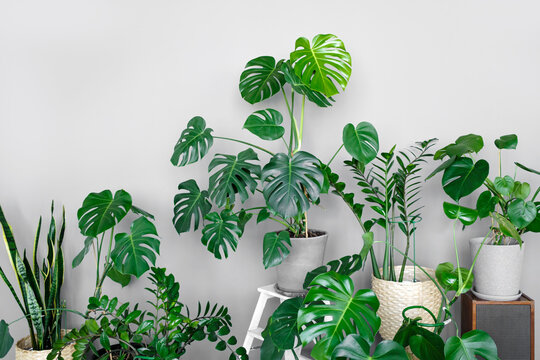 Many modern green plants with various pots in room. Modern home garden composition. Stylish and minimalistic urban jungle interior. Botany home decor with a lot of plants.