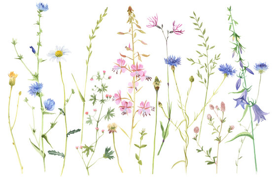 Hand painted watercolor meadow herbs and flowers