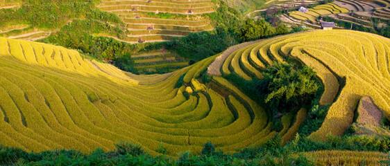 terraced rice field in sunshine