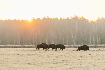 European bison at sunset.Four adult bison walk across the field