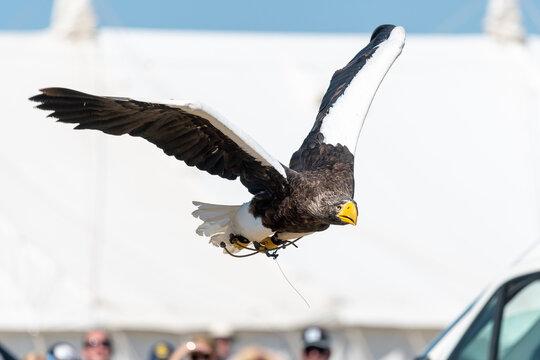 Stellers sea eagle (haliaeetus pelagicus) in flight