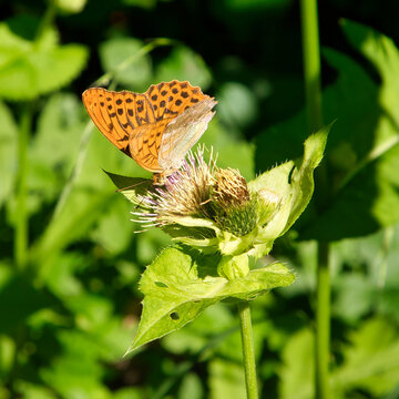 Silver-washed fritillary on a thistle in Austria