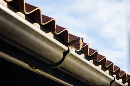 squirrel peeking from underneath a roof tile closeup