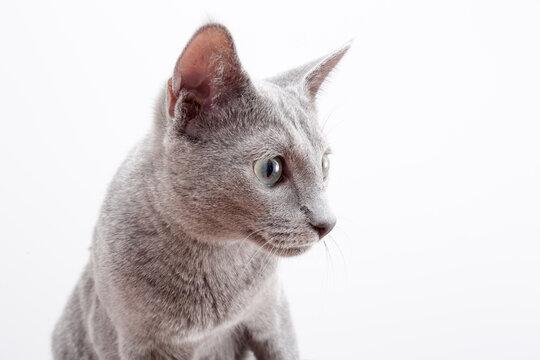 kot, kot rosyjski, kot rosyjski niebieski, rasowy, szary, niebieski, oczy, zielone,