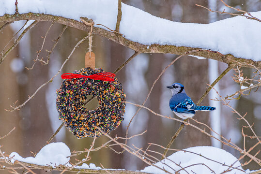 Blue Jay bird perched on bare tree branch with snow in forest near bird seed wreath