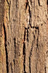 Fototapeta Kora drzewa obraz