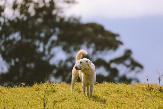 Sheepdog in the pasture,Maui, Hawaii